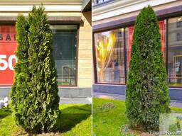 Ваш Садовник. Стрижка и обрезка деревьев, кустарников - photo 7