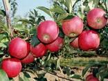 Яблоки Иссыккульский превосход - фото 1