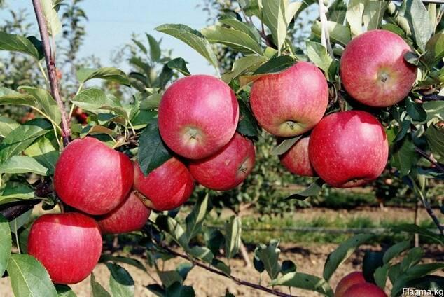 Яблоки Иссыккульский превосход