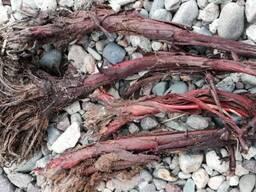 Арнебия краснокорневая