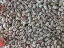 Экологически чистая фасоль без гербицидов. - фото 5