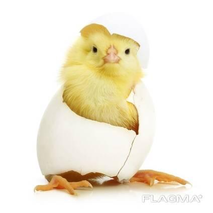 Инкубационные яйца несушки оптом и на экспорт