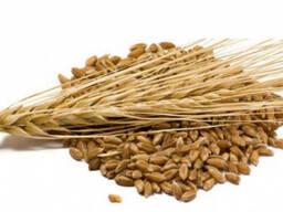 Куплю ячмень и пшеницу