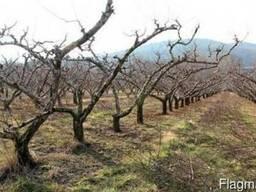 Обрезка плодородных деревьев, кустарников. Кыргызстан.