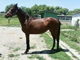 Продаем чистокровных английских скаковых лошадей.