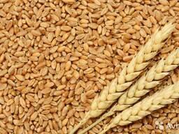 Пшеница на экспорт из Республики Казахстана