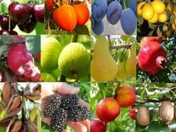 Саженцы плодових деревьев