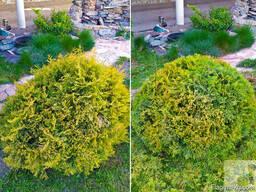 Ваш Садовник. Стрижка и обрезка деревьев, кустарников - photo 8