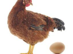 Яйцо инкубационное Ломан Браун